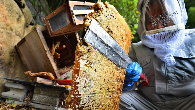 養蜂家の男性が、巣箱から日本蜜蜂の巣をつかみ出した=兵庫県川西市