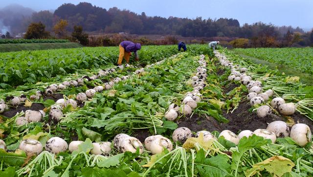 収穫される聖護院かぶ。葉を切り落とされたかぶが、畑に白い線を描く=京都府亀岡市