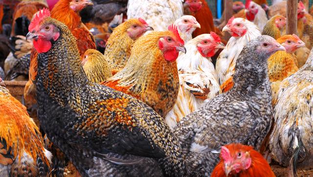 加藤高志さんが飼育している七谷地鶏。様々な色合いの羽根を持つ地鶏が群れ集う=京都府亀岡市