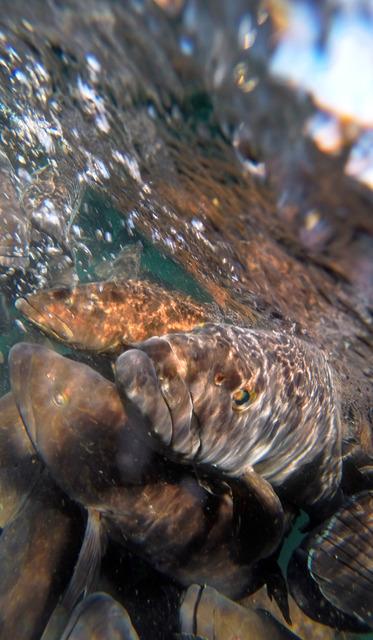 養殖いけすを泳ぐクエ。エサの魚が投げ込まれると一斉に浮き上がり、水面近くはクエの芋洗い状態になる=和歌山県串本町