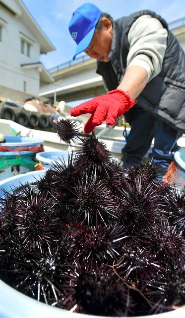とったばかりのウニを加工場に運ぶため、手早く取り分ける漁師=兵庫県洲本市