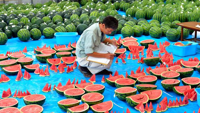 果実調査のためにずらりと並んだスイカ。あたりにはスイカの香りが広がる=奈良県田原本町