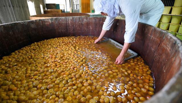 木の樽に漬けられた南高梅をすくう職人=和歌山県みなべ町の岩本食品