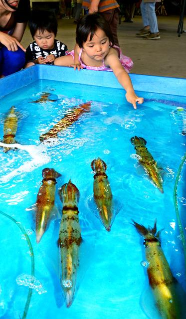 イカソーメン早食い大会の会場の水槽で泳ぐ白イカ=兵庫県香美町