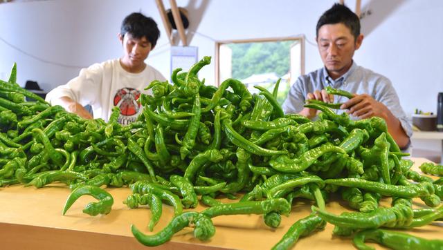 収穫されたばかりの万願寺甘とう。JAに出荷する前に、大きさによって選果していく=京都府舞鶴市