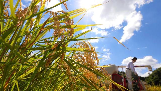 コンバインで刈り取られる「里山の夢」。日差しが降り注ぎ作業もはかどる=広島県庄原市
