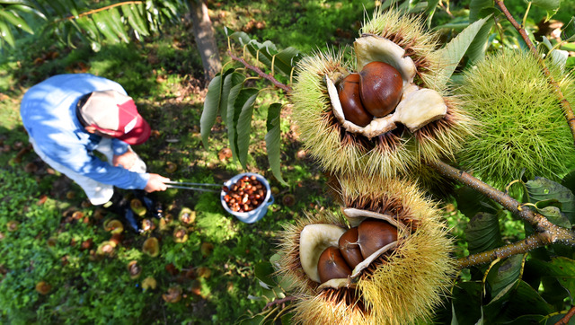 はじけた毬栗【いがぐり】から栗の実がのぞく。火ばさみを手に一つ一つ拾いあげていく=京都府京丹波町
