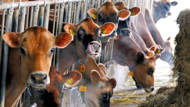 黙々とエサを食べるジャージー牛。自由に歩き回れるフリーバーン牛舎で飼育されている=岡山県真庭市の丸山牧場