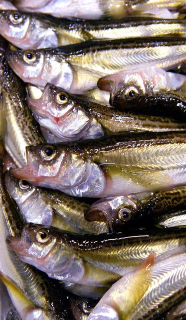 競りを待つハタハタ。ツヤツヤした魚体が輝き、表情もなぜかユニークだ=兵庫県香美町