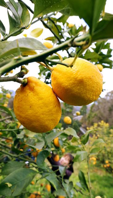 小高い山に育ったレモン。斜面を行き来し、一つ一つハサミで収穫していく=広島県尾道市瀬戸田町