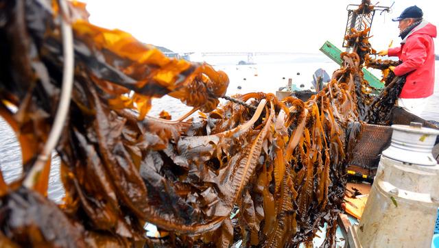 鳴門海峡の潮にもまれて育ったワカメを引き揚げる漁師。奥は大鳴門橋=徳島県鳴門市