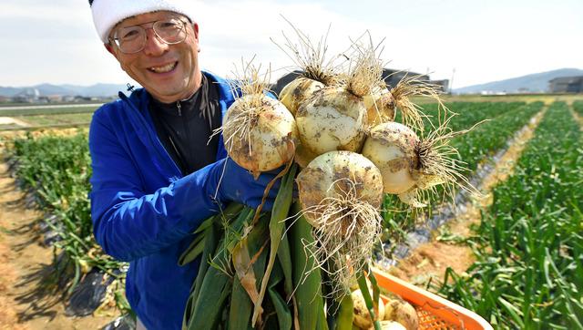 淡路島タマネギの「浜の宝」を収穫する浜田哲司さん=兵庫県南あわじ市