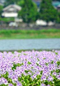 ホテイアオイ、水面に揺れ 高知・南国の石土池:朝日新聞デジタル