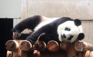 上野動物園のパンダ、シンシンが...