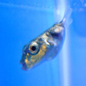 深海のヨリトフグ、珍しい稚魚を発見 山口・下関で展示:朝日