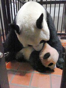 おぼつかない足取りで産室を歩くシャンシャン(9月30日、東京動物園協会提供)