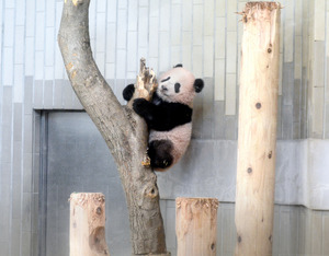 母親シンシン(右)のそばで過ごすシャンシャン。生後160日を迎え、体重は10・6キロに増えた(19日、東京動物園協会提供)