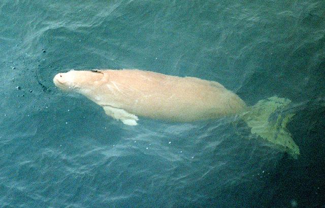 「人魚の正体は、ジュゴンの見間違えである。」 ←いやいやいやいや。   [941569259]->画像>7枚