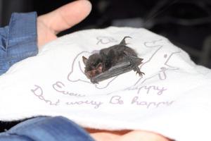 絶滅危惧のコウモリ、沖縄本島で...