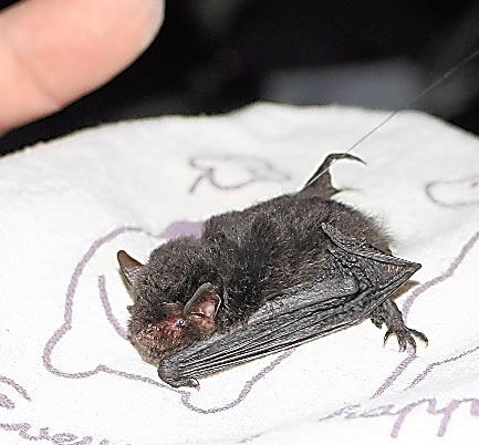絶滅危惧のコウモリ、沖縄で捕獲...