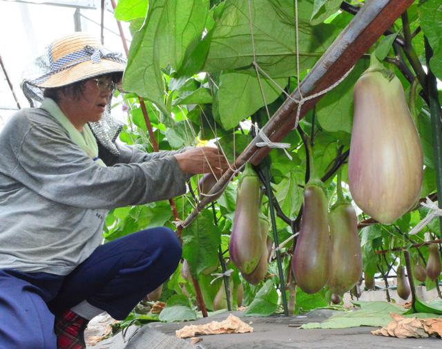 宇宙芋・天狗なす\u2026愛知の野菜に新顔続々、じわり人気:朝日新聞