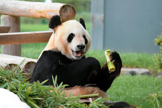 和歌山)お父さんパンダ「永明」...