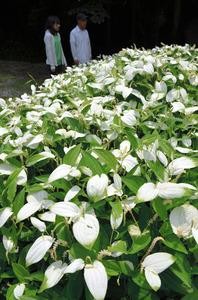 奈良 半夏生が見頃 葉が白に 御杖 朝日新聞デジタル