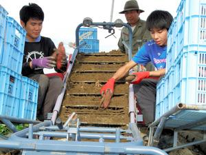 徳島)なると金時「里むすめ」収穫最盛期