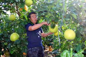 熊本)最大級の柑橘類、晩白柚の...