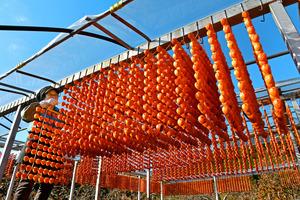 日本一の柿産地、串柿づくりが最盛期 山里がオレンジに