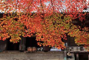 京の山あい、真っ赤に染めるカエデ 神護寺の紅葉見ごろ