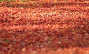 赤じゅうたん、光と影のコントラスト 京都・三千院の朝