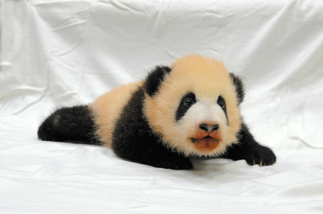 パンダ 名前 ワールド アドベンチャー 【2021】アドベンチャーワールドのパンダに会いに行こう!全7頭の名前、赤ちゃんパンダの観覧情報も!