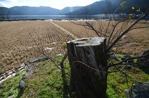 湖畔にあるマルバヤナギは2017年に折れ、切り株が残る。株からは若い芽が出てきていた。奥に見えるのが余呉湖=2019年1月4日、滋賀県長浜市、小林一茂撮影