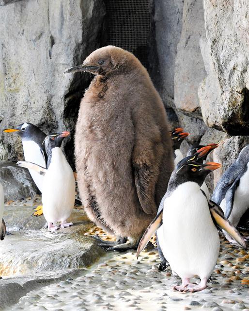 大きすぎるペンギンのひなが話題「人、入ってません?」:朝日新聞デジタル
