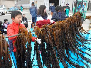 徳島)「たくさん採れた」鳴門ワカメ、児童が刈り取り