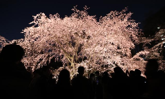 asahi.com - しだれ桜が見頃、ライトアップも 東京・六義園朝日新聞デジタル