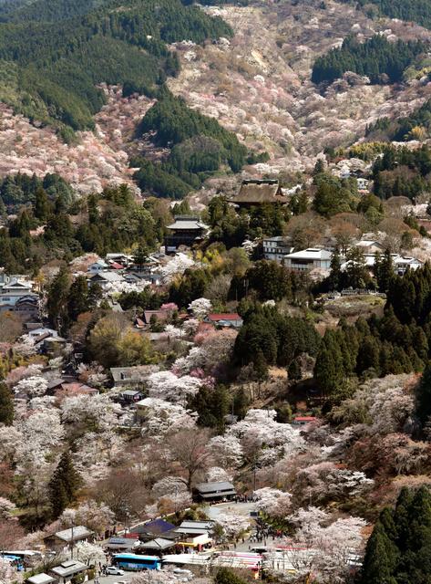 桜 見頃 吉野