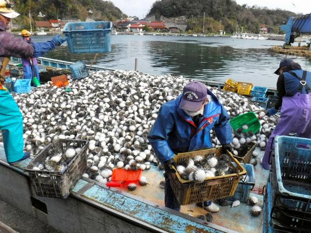【島根】大量のハリセンボン、定置網に 漁業者に被害