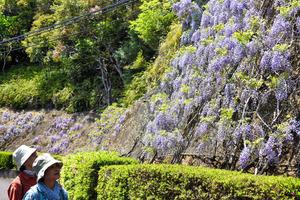 高知)まるで花の滝のよう フジの花見ごろ 四万十市