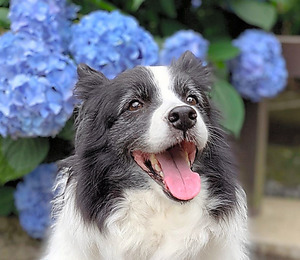 Image result for 犬 border collie 美しい""