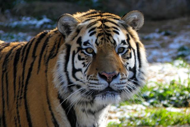 天王寺動物園のアムールトラが急死 7歳の「虎二郎」:朝日新聞デジタル