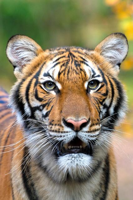 トラが新型コロナ陽性 NYの動物園、空ぜきする仲間も:朝日新聞デジタル