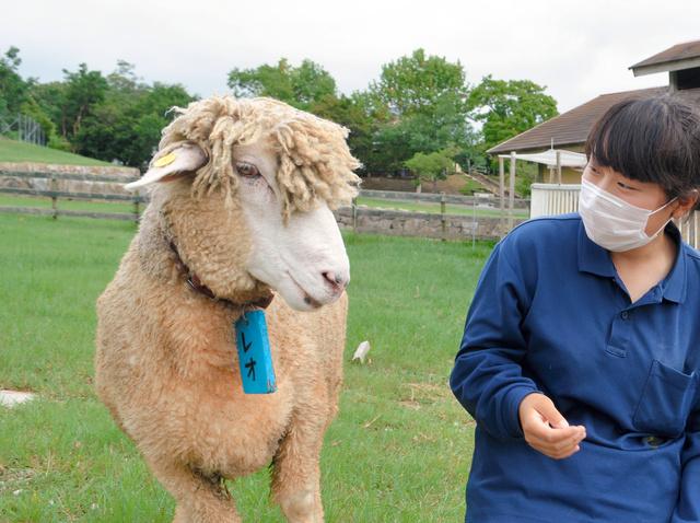 羊ですがトップの毛、残してみた 「断トツイケメン」:朝日新聞デジタル
