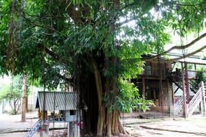 「バーンロムサイ」にあるガジュマルの木=2020年8月16日、タイ北部チェンマイ郊外、貝瀬秋彦撮影