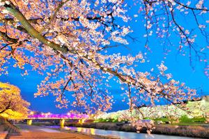 以前のふくい桜まつりでライトアップされた足羽川の桜並木(ふくい桜まつり実行委員会提供)