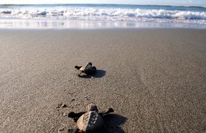 砂浜を海へ向かう子ガメ。普通は夜に見られる光景だが、波消しブロックの間に落ちて動けなくなっていたところを、早朝に救出したそうだ=表浜ネットワーク撮影