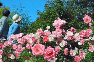 さまざまな色合いのバラが咲いていた=2020年10月24日午後1時6分、福岡市中央区の市植物園、安田桂子撮影