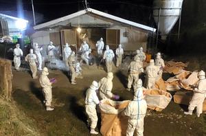 陸上自衛隊員も加わって行われた宮崎県都農町の防疫作業(2020年12月2日午前3時30分、宮崎県提供)