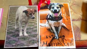 絵本の主人公になった「マロン」。左が野良犬時代、右が引き取った後。「人におびえていたのが、いきいきとした表情に変わった」と、飼い主の橘秀美さんは言う